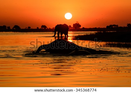 Elephant Sunset A picture of an elephant sunset taken from a boat on the chobe river ,Botswana .  - stock photo