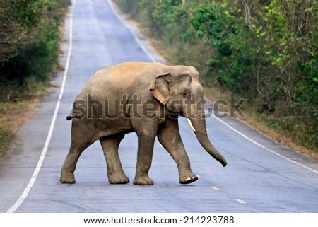 elephant Thailand, soft focus - stock photo