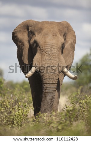 Elephant the giant of Africa