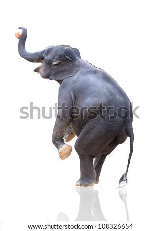 elephant throwing ball isoated on white - stock photo