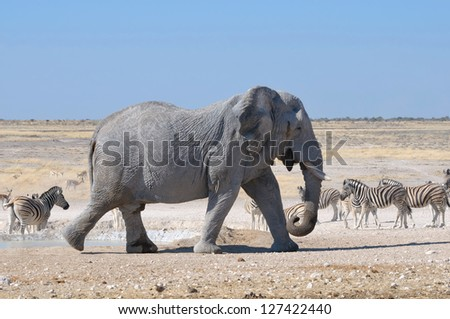 Elephant walking in the Etosha National Park, Namibia