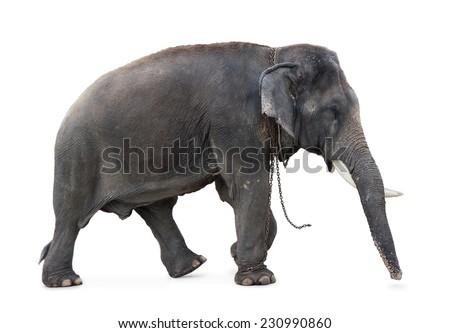 Elephant walking on a white background - stock photo