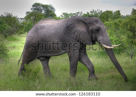 Elephant walking through the bush - stock photo