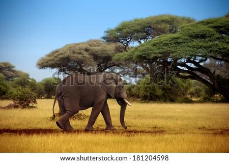 elephant walking through the savannah in Masai Mara - stock photo