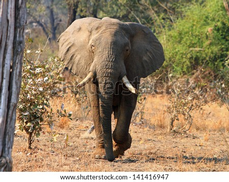 Elephant walking towards camera in the bush