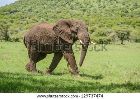 Elephant walks over grassy plains of Serengeti - stock photo