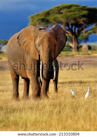 Elephant with Cattle Egrets in the beautiful landscape of the Amboseli National Park in Kenya - stock photo