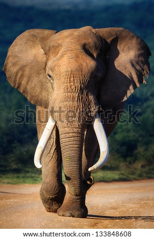 Elephant with large teeth approaching - Addo National Park - stock photo