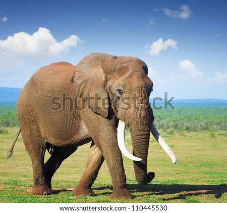 Elephant with large tusks - Addo National Park - stock photo
