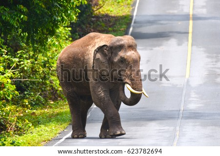 Elephant with tusk is walking through the road to grassland at Khao Yai National Park Thailand