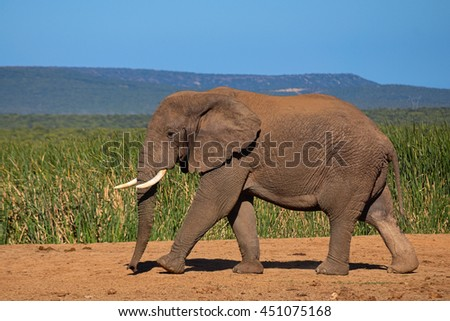 Elephant with tusk running in Addo Elephant Park, South Africa, next to water hole - stock photo