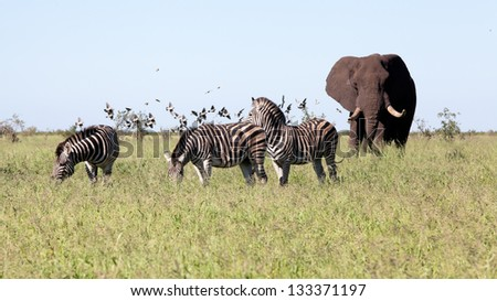 Elephant with Zebras and the birds in the bush. South Africa, Kruger's National Park.