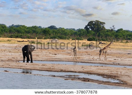Elephants and giraffes drinking at waterhole, Hwankee national Park, Botswana. Safari wildlife - stock photo