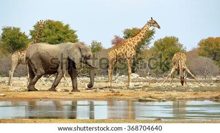 Elephants and giraffes watering in Etosha, Namibia. - stock photo