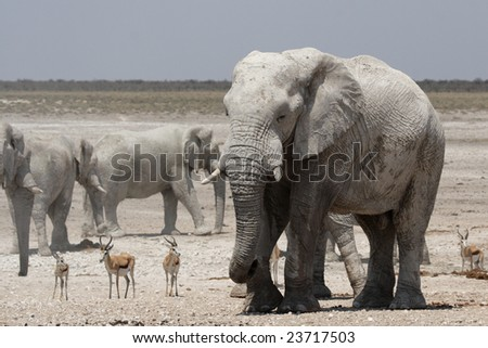 Elephants and Springbok in the Etosha National Park, Namibia
