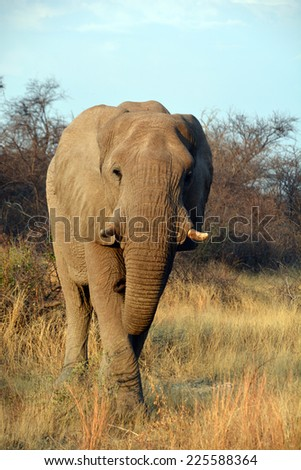 Elephants are large mammals of the family Elephantidae and the order Proboscidea.(Etosha National Park) Namibia Africa - stock photo