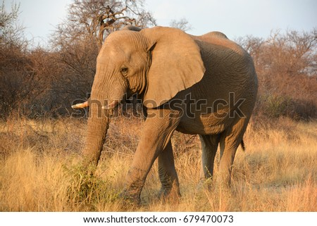 Elephants are large mammals of the family Elephantidae and the order Proboscidea.  (Etosha National Park) Namibia Africa