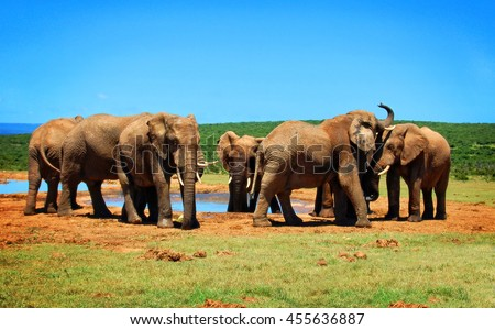 Elephants at a watering hole. Creative artwork of african wildlife. Elephant Love. Amazing image. Sweet memories of travel to Africa & African safari. Postcard. Wild animals in National Parks