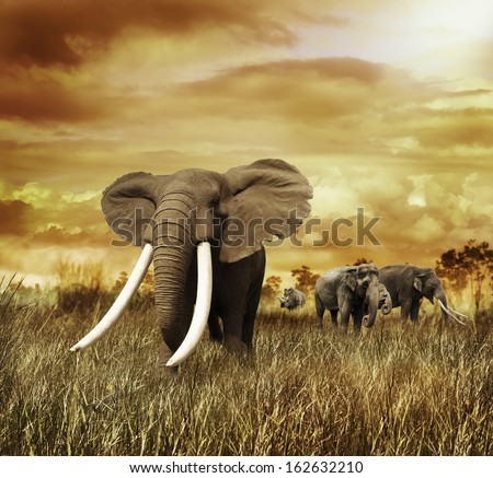 Elephants At Sunset ,Walking On The Grass