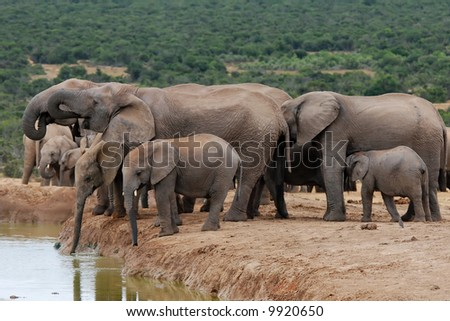 elephants at the watering place