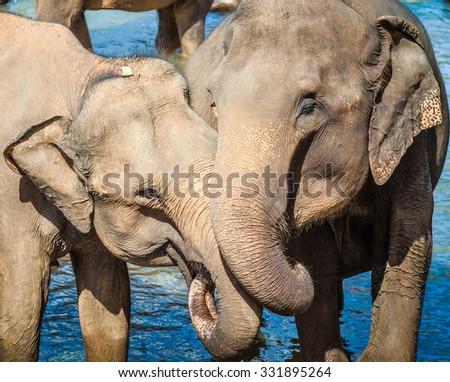 Elephants bathing in a river - stock photo