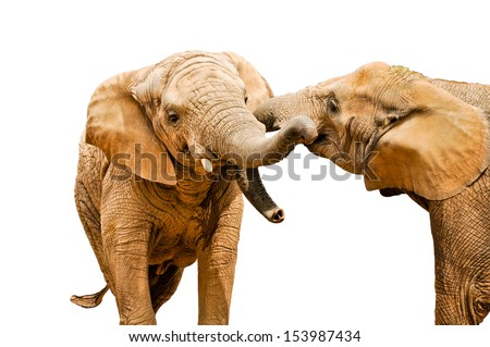 Elephants conflict - isolated on white - stock photo