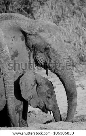 Elephants digging well in the dry season, Ruaha National Park, Tanzania. - stock photo
