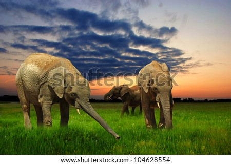 Elephants eating grass at sunset - stock photo