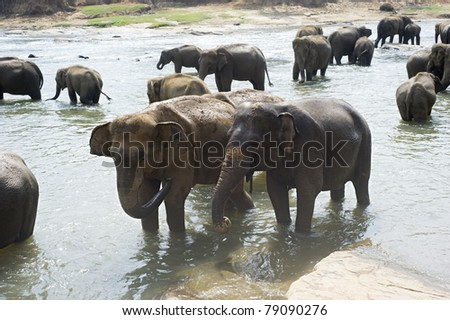 Elephants from the Pinnewala Elephant Orphanage enjoy their daily bath at the local river. - stock photo