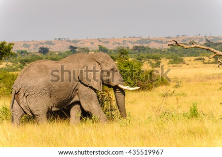 Elephants in Africa, Uganda