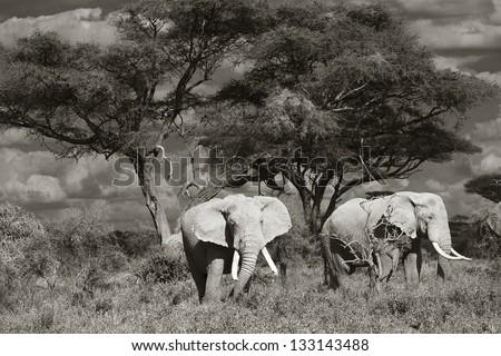 Elephants in Amboseli National Park in Kenya 01 - stock photo