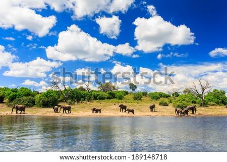 Elephants in Chobe National Park, Botswana - stock photo