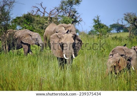 Elephants in grass in Murchison Falls National Park, Uganda - stock photo