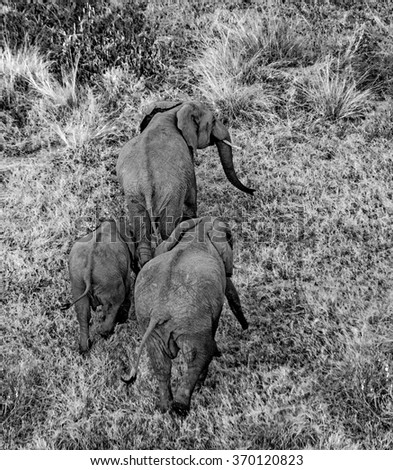 Elephants in the savanna. Shooting from hot air balloon. Africa. Kenya. Tanzania. Serengeti. Maasai Mara. An excellent illustration.