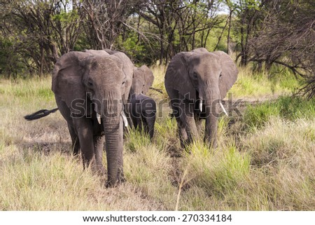 Elephants in the wild   Tanzania