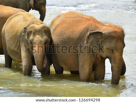 Elephants. Indian elephants in the river. Country Of Sri Lanka