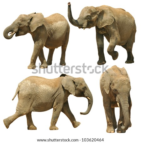 Elephants isolated on white background