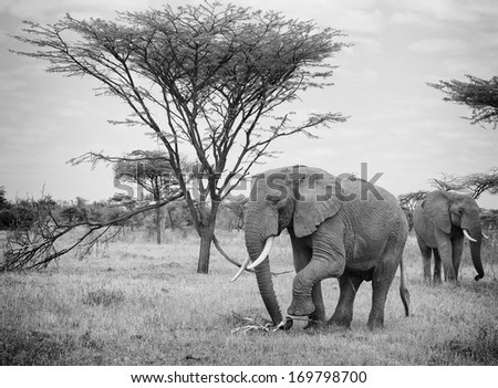 Elephants on a rampage - stock photo