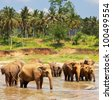 Elephants  on Sri Lanka - stock photo