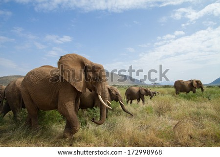 Elephants on the move. Samburu, Kenya - stock photo