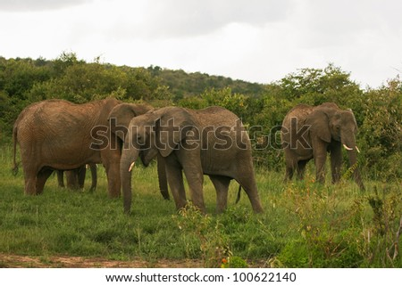 Elephants on the savannah, Masai Mara, Kenya - stock photo