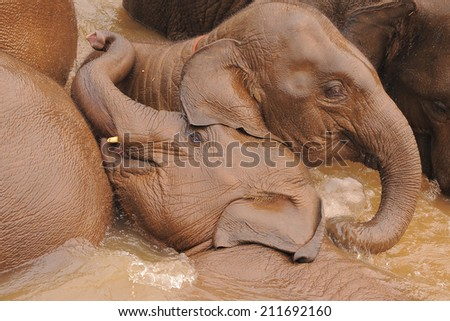 Elephants playing in the river - stock photo