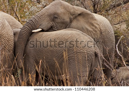 Elephants showing each other affection - stock photo