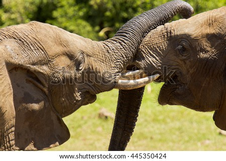 Elephants showing some love and affection to one another in the hot sun - stock photo