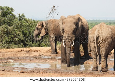 Elephants spray themselves with mud in an effort to cool down and protect themselves from bugs. Photo taken at waterhole at Addo Elephant Park near Port Elizabeth in South Africa.