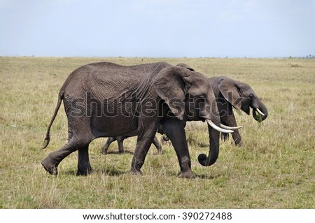 Elephants walking in grass in Masai Mara National Park, Kenya