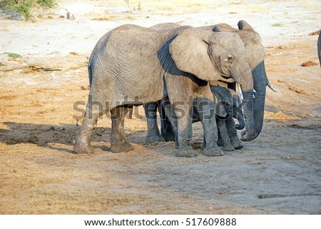 Elephants with a calf around a watering hole at a lodge in Botswana, in the dry season