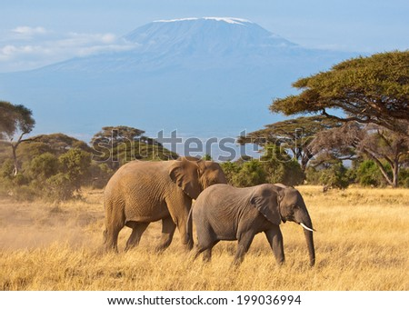 Elephants With Kilimanjaro Background - stock photo