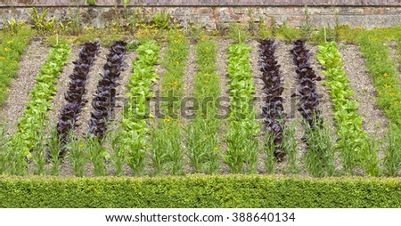 Elevated summer vegetable garden with vertical rows of green and red lettuce, orange marigold flowers, between brick wall and low box hedging  - stock photo