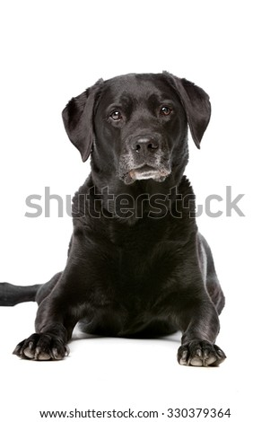 Eleven years old black Labrador in front of a white background